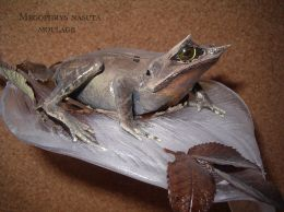 taxidermie grenouille