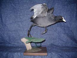 taxidermie des oiseaux