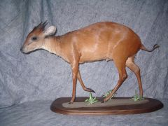 antilope rouge taxidermie