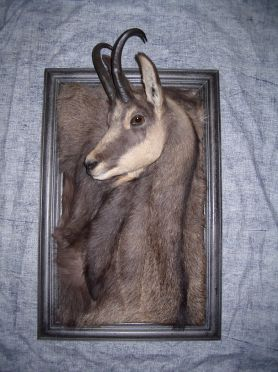 sanglier-vente-liaud-taxidermiste