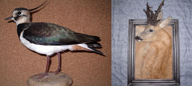 taxidermie maladie